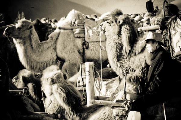 Dunhuang camel cowboy