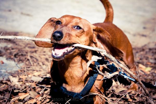 weiner dog stick