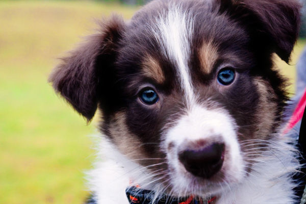 collie blue eyes