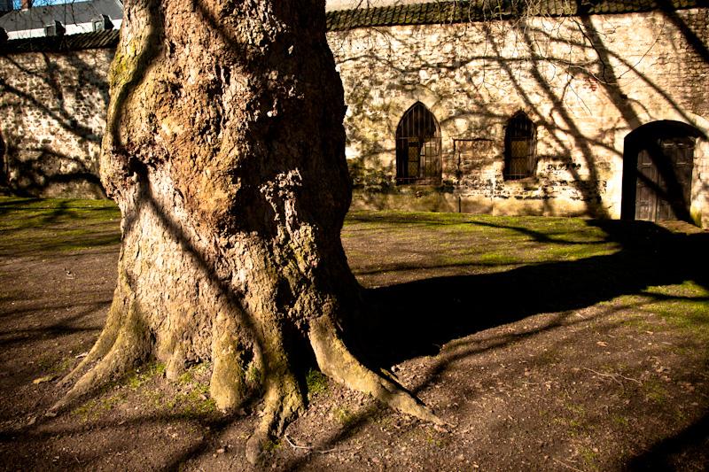 Le Cambre Abbey tree