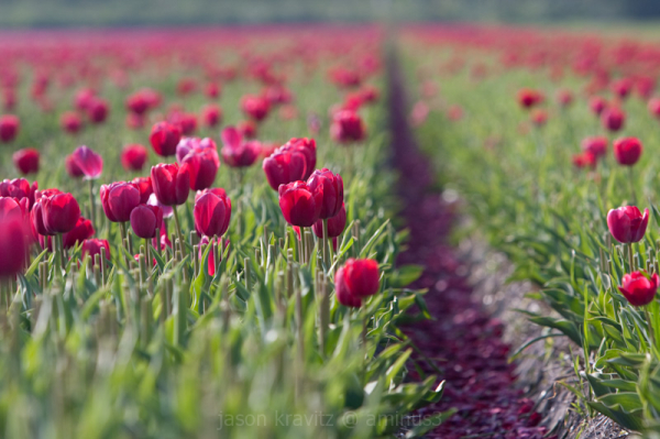 dutch tulip fields