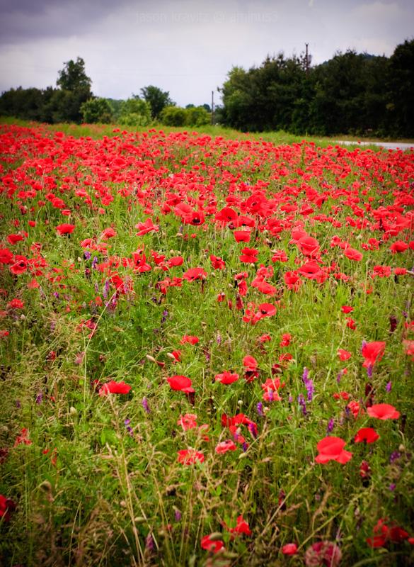 d-day red poppy