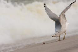 holgate seagull
