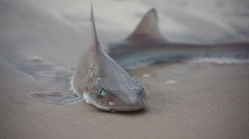shark on land