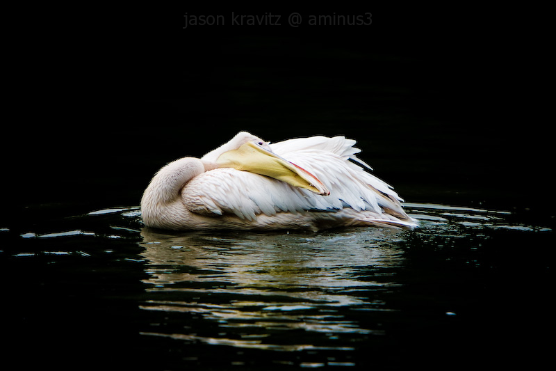 white pelican isolated on black