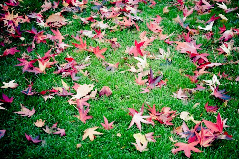 red leaf grass