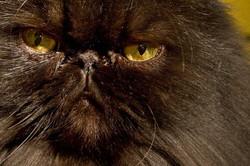 Persian cat eyes
