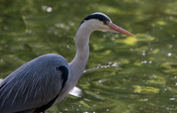 Pet Heron