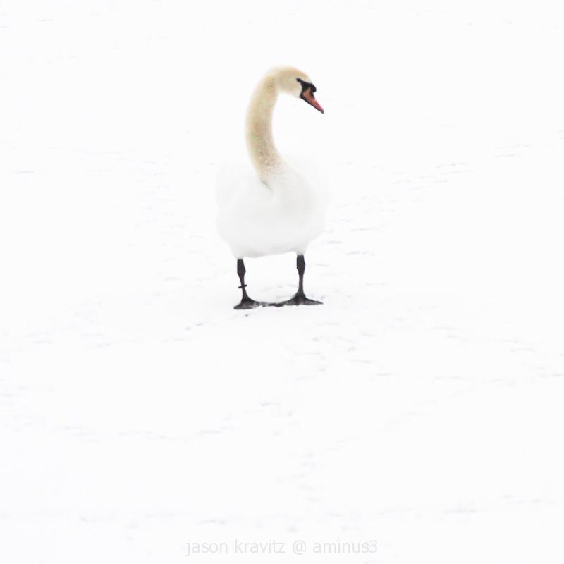 swan in snow