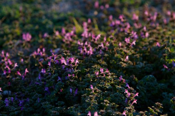 purple henbit
