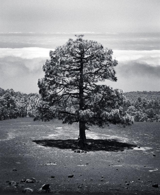 tree volcano b-w spain tenerife