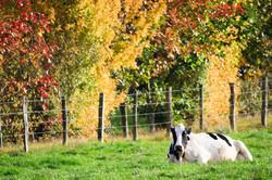 cow in autumn