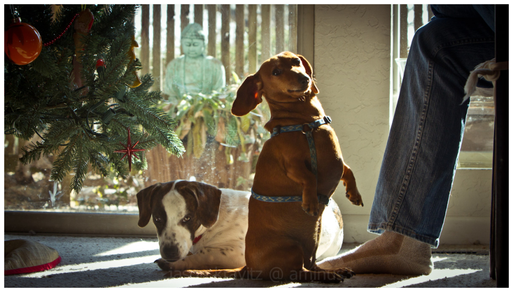 begging dachshund