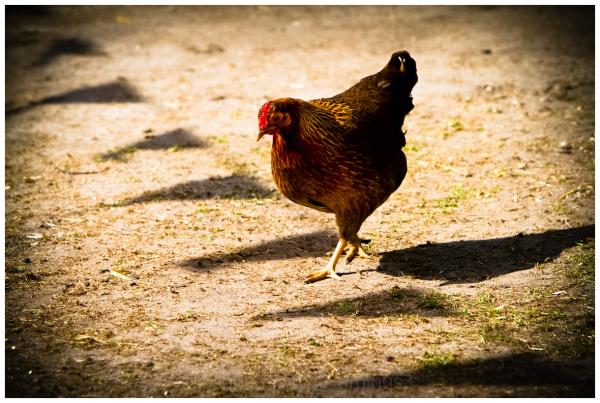 chicken blows