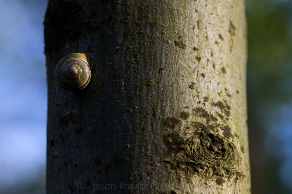 forest snail