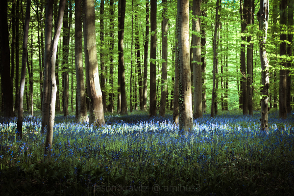Hallerbos Blue Flower Carpet