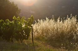 green grape vine