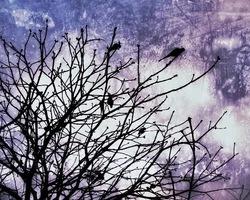 Crow dandy