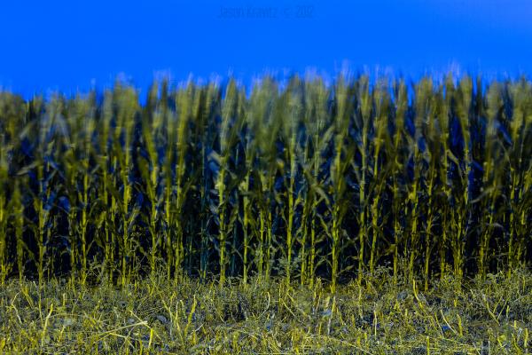 night blue corn