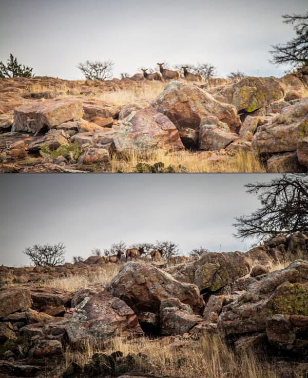trio of elk