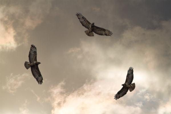 three hawks soaring