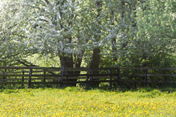 bloom dandelion