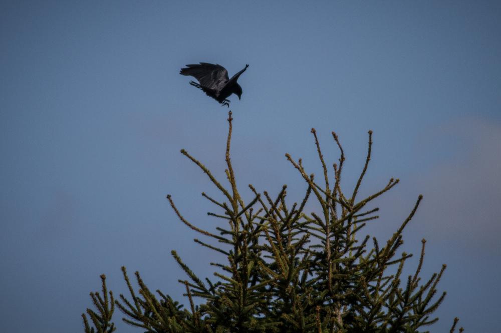 touchdown crow