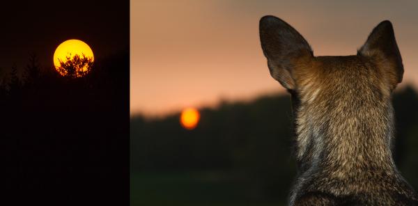 dog sunset