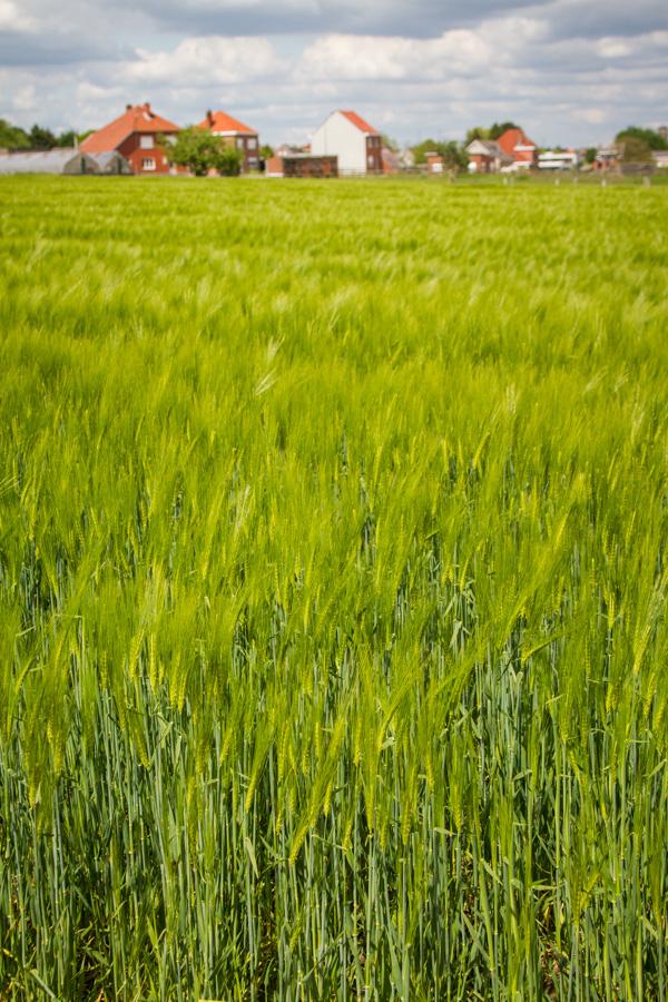 through the green wheat