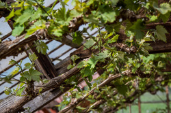 grape vines in glass house