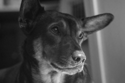 introspective dog