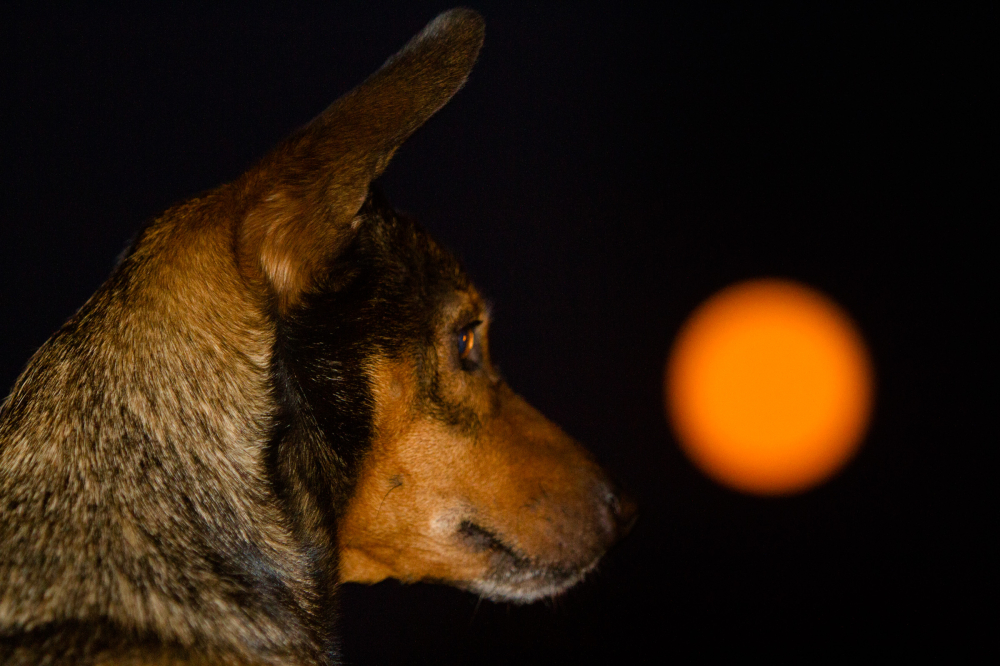 dog watching moon