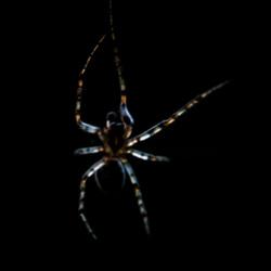 spider minimalist
