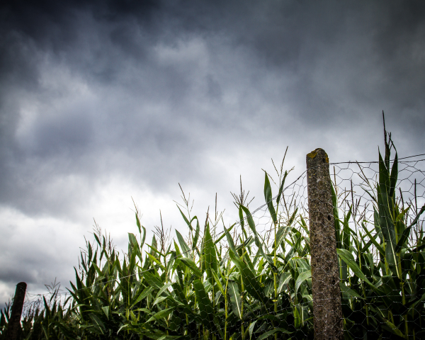 corn fence clouds