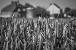 wheat village