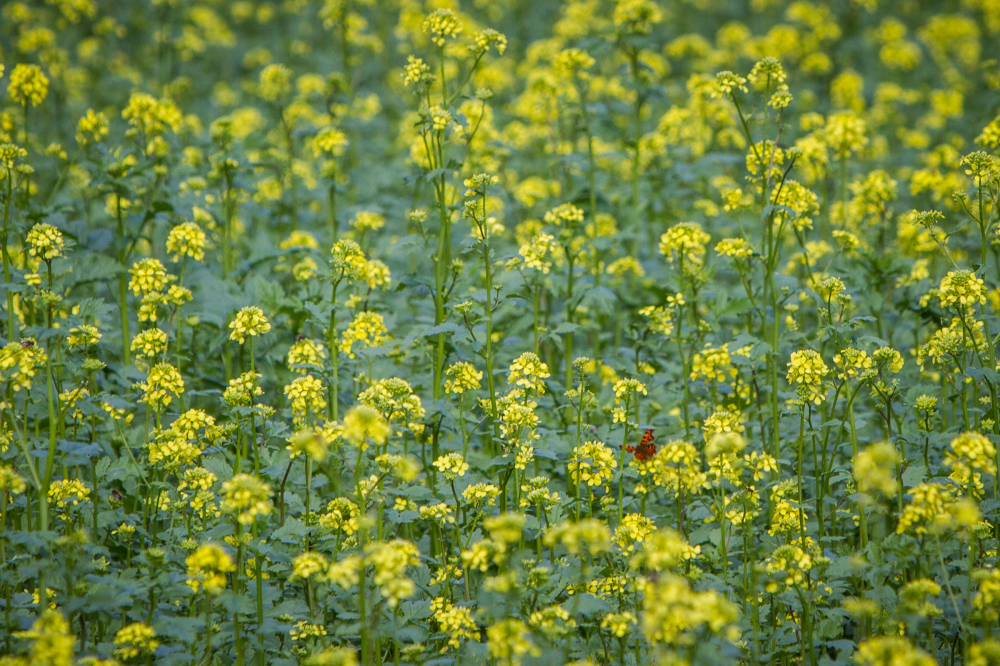 rapeseed and butterfly