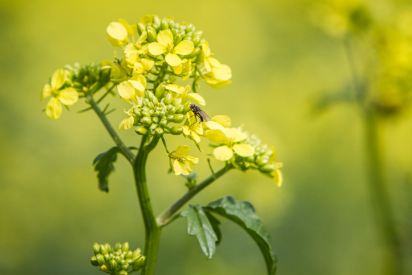 fly on the rapeseed