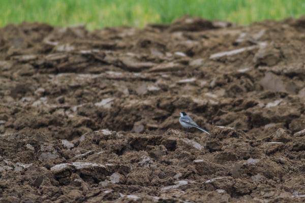bird in a plowed field