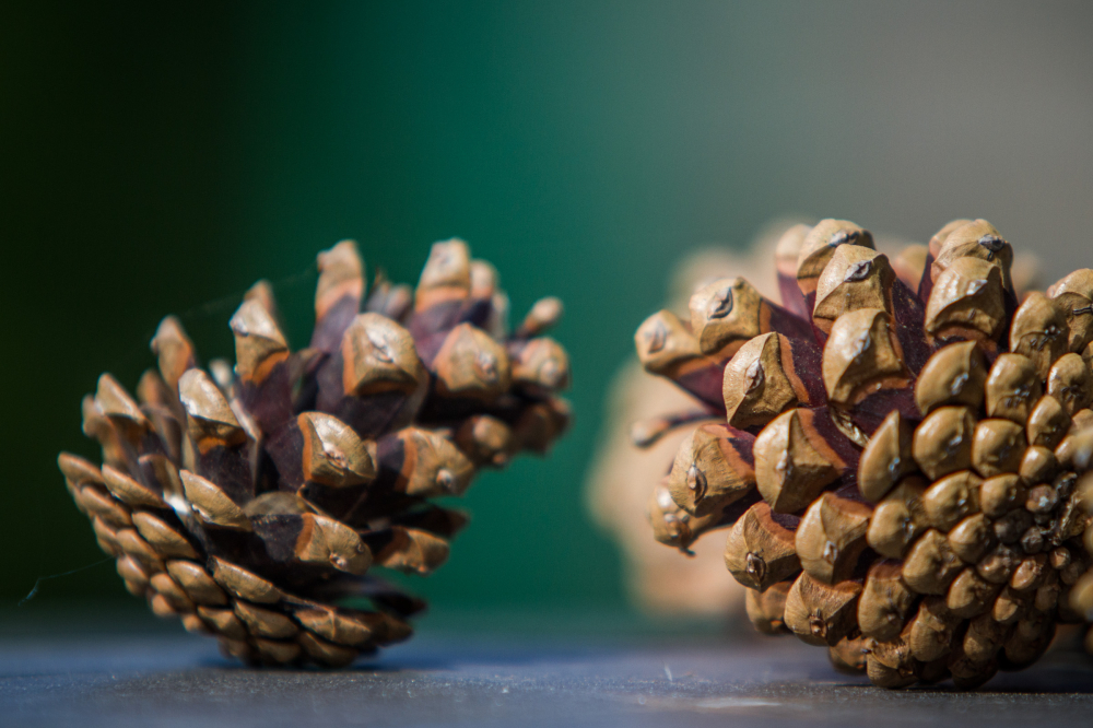 green pinecones