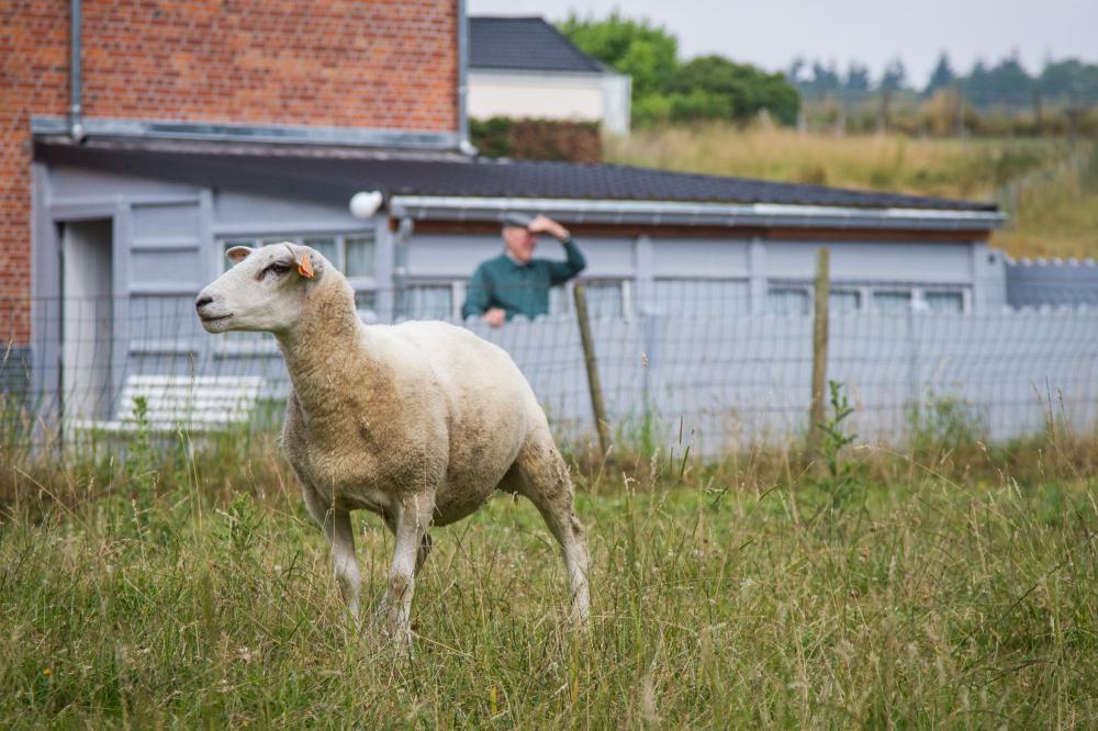scouting sheep