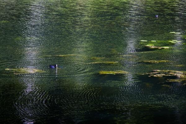 coot pond