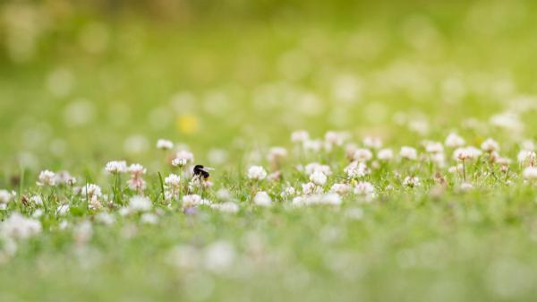 bee clover