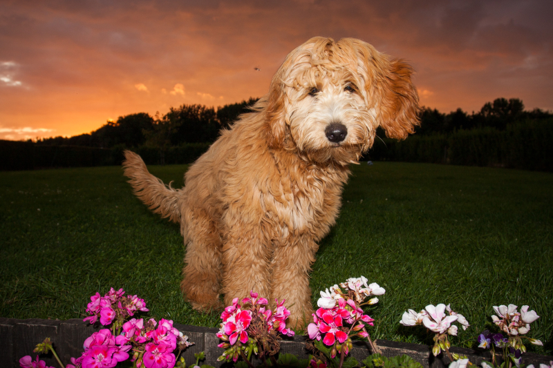 glamour shots with Golden Doodle