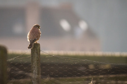 falcon on a fence