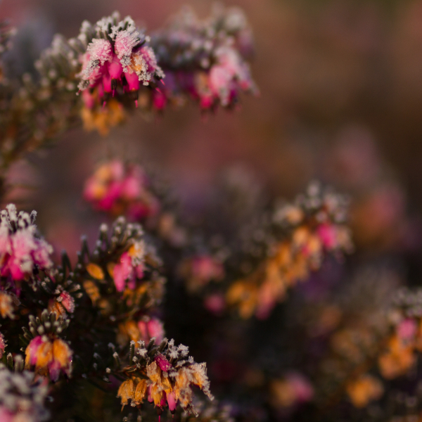 frosty heather