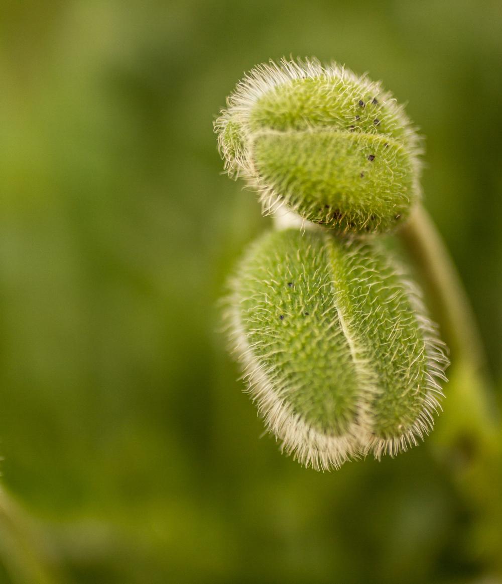 poppy buds