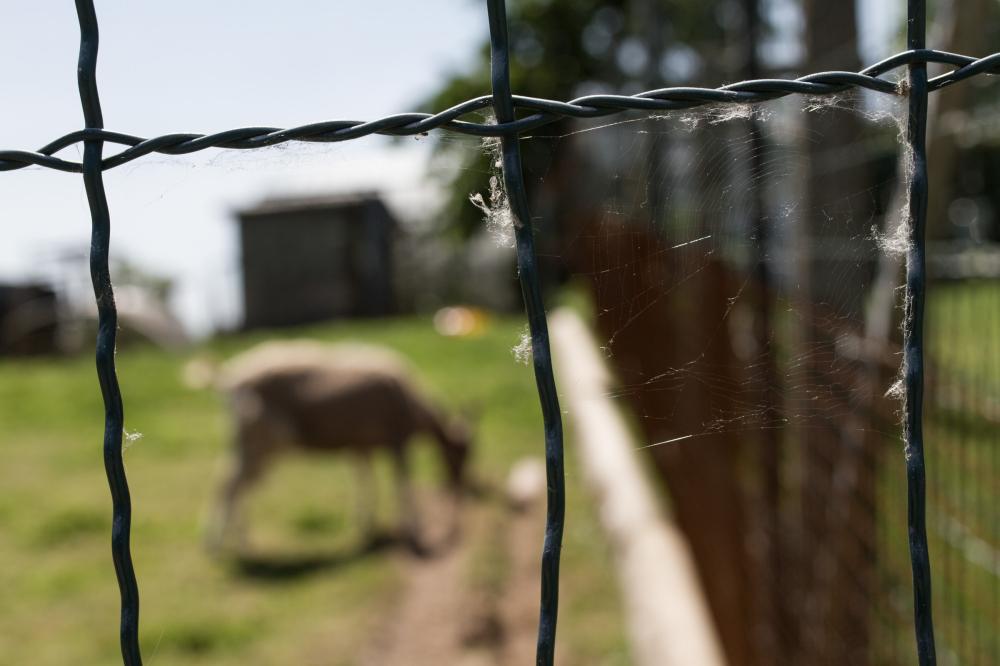 blur web goat