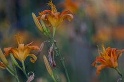 bokeh lily