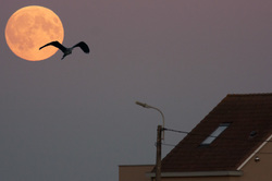 supermoon heron