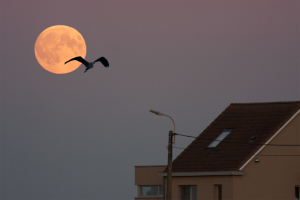 heron and moon